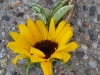 Sunflower with wheat