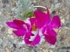 wristlet of orchids & dusty miller