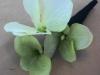 Silk hydrangea corsage