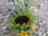 Sunflower Boutonniere with yellow wax